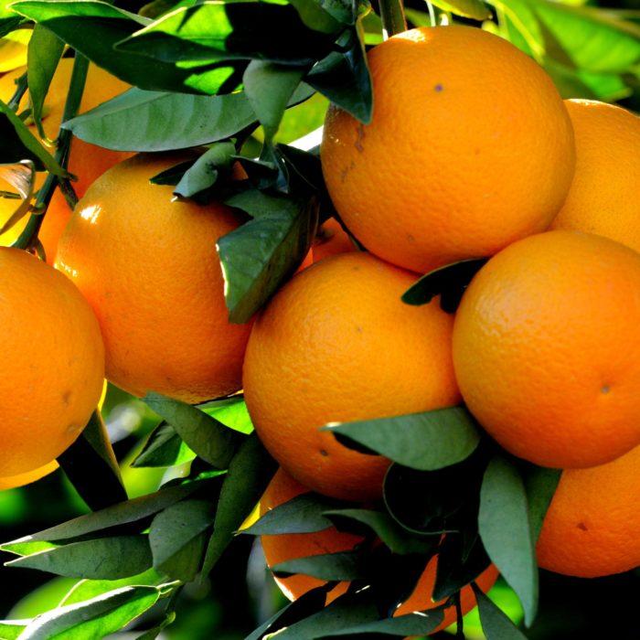 Très rare! Agrumes et fruits rustiques