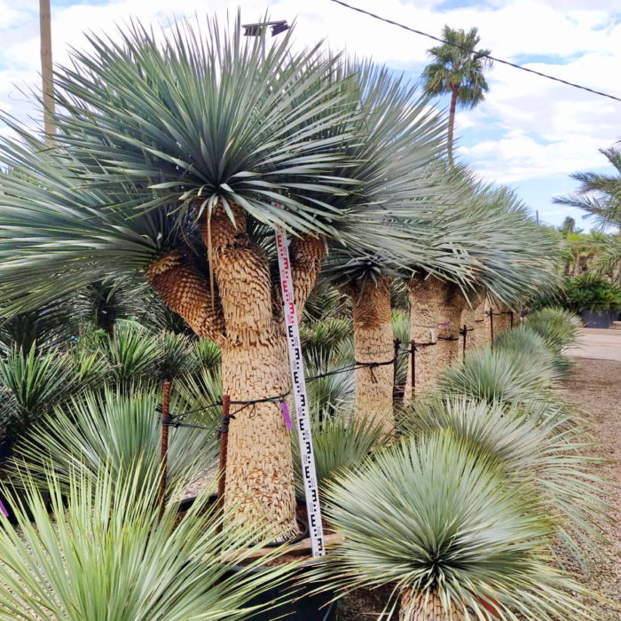 Yuccas rustiques. Indispensable dans son jardin.