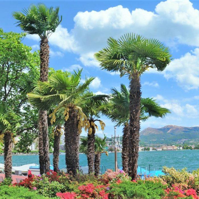 Les palmiers rustiques jusqu'à - 20 degrés